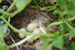 Finch eggs..
