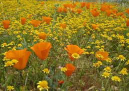 Poppies and Gold fields