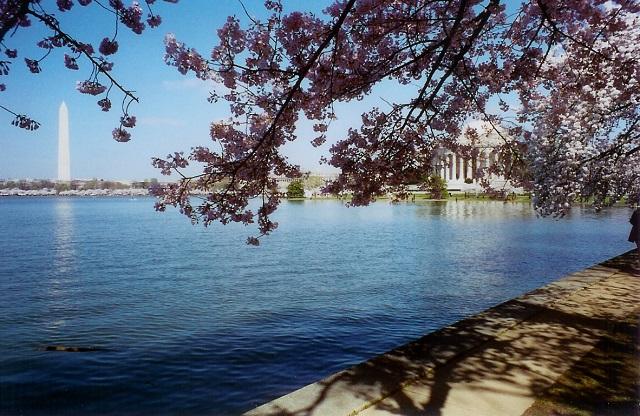 spring 2004 washington dc cherry blossoms