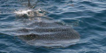 Holbox Whale Sharks