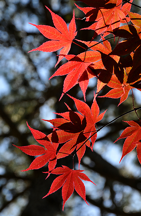 japanesemapleleaves