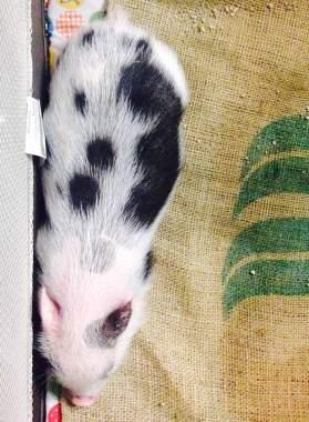 vintage market pig