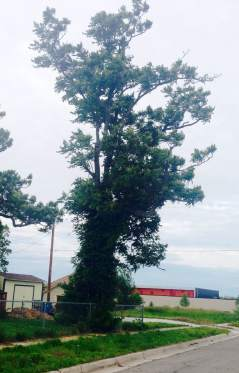 st johns memorial tornado tree