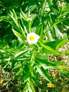 wildflowers daisy fleabane