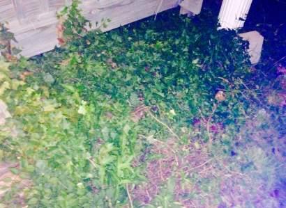 Front Garden Ivy