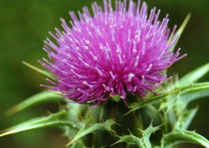 seeds milk thistle