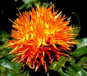 seeds safflower