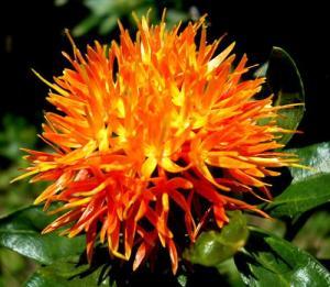 seeds safflower