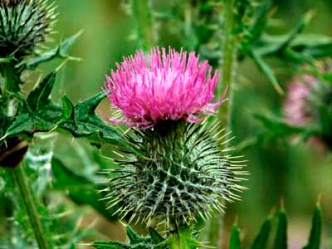 seeds scottish thistle
