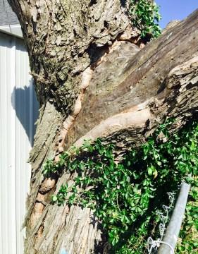 Hello Spring...Goodbye Maple Tree
