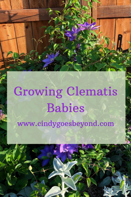 Growing Clematic Babies