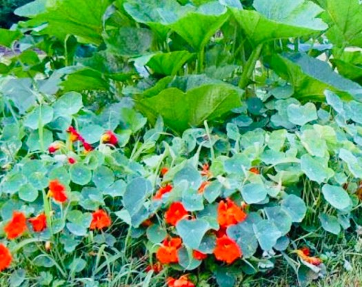 Companion Gardening Plants that Thrive Together squash and nasturtium