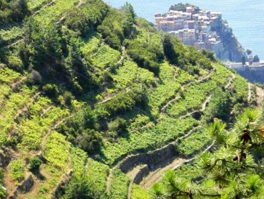 Fun Facts About Cinque Terra - vineyards