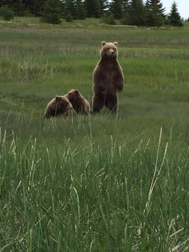 Brown Bear mom standing with two cubs in Alaska 2017 - Cindy Grisdela