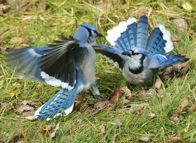 Blue Jays Fighting 1-X2