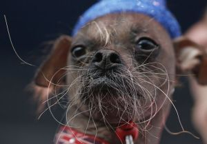 2012 World's Ugliest Dog Contest
