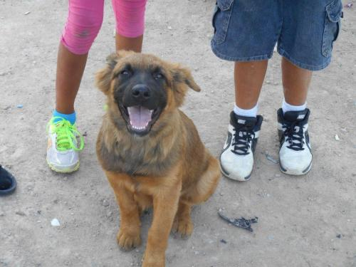 German Shepherd mix puppy