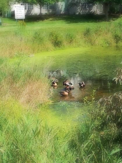 cindylusmuse-duck-swim-clarify