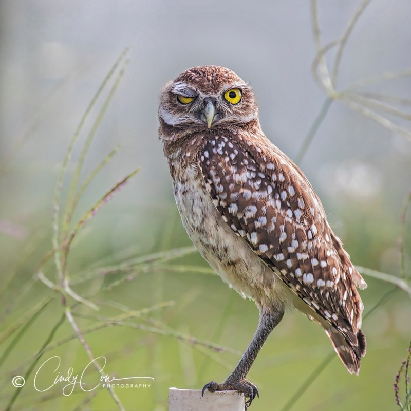 Cape Coral burrowing owl.