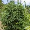 large tomato plant