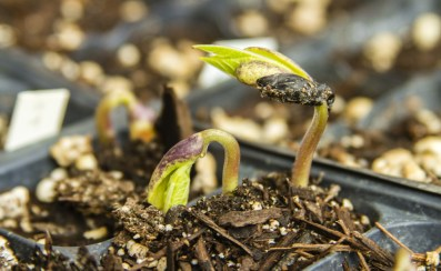 sprouted pea seed
