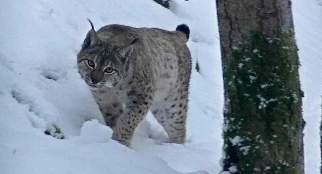 un lynx filmé par Jean-Michel Bertrand dans Marche avec les loups