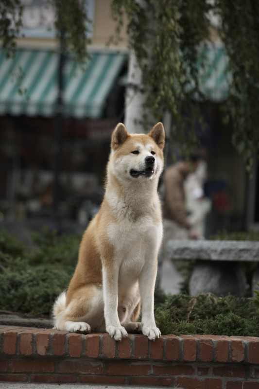 What Type Of Dog Is Hachi : hachi, HACHIKO:, STORY, FAITHFULNESS