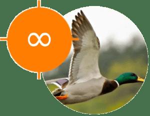 Chasse au canard