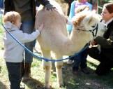 Someone else's child petting an alpaca.
