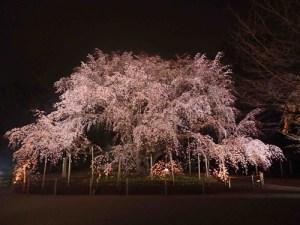 六義園さんのサイトの枝垂桜