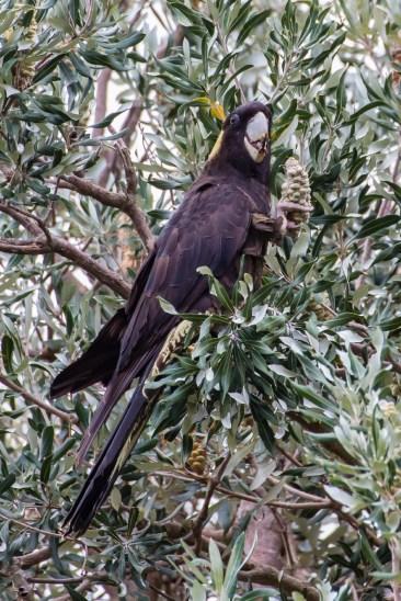 Yellow-tailed black cockatoo - endangered, but plenty of them live on Bowen Island