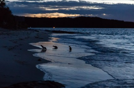 The first courageous Little penguins that arrived just after sunset, but when there was still enough light for a photo