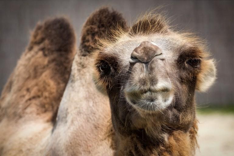 camels yoga