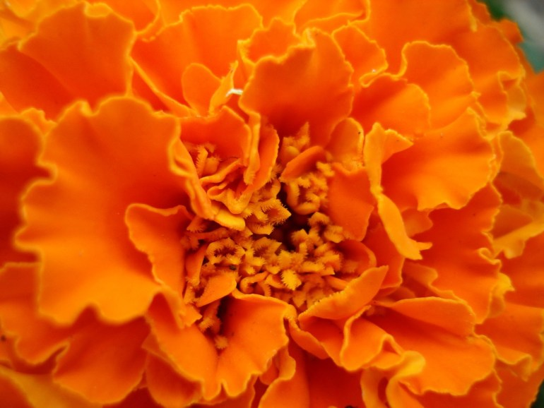 marigold, transplanted and still blooming, cinthia milner