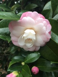 Nuccio's Pearl Camilla, the first to bloom in the garden-like January!