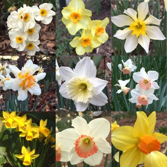 They have so many daffodils I made a collage.