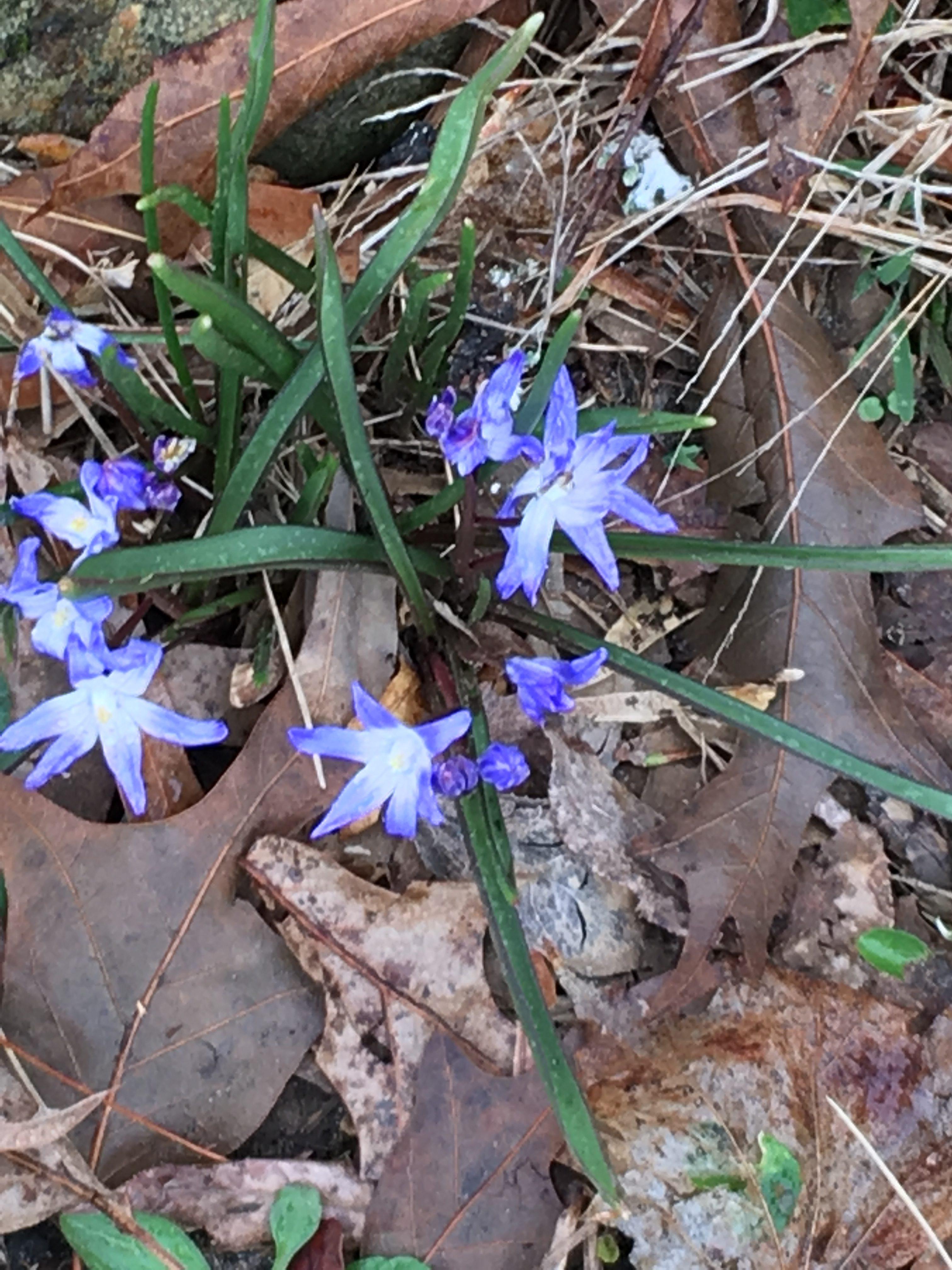 Scillia, bright indigo bllue.