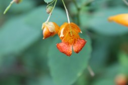 Jewelweed growing everywhere.