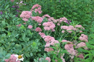 Pollinator garden with Autumn Joy sedum.