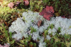 Lichen in the moss garden.