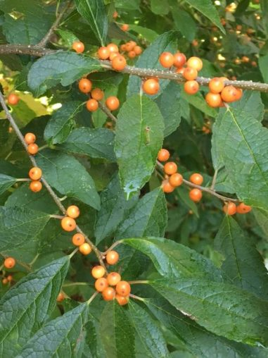 Winterberry holly.
