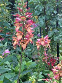 Digiplexus wasn't a huge hit. Prefer the hibiscus.