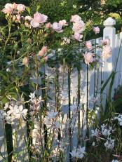 roses and gaura
