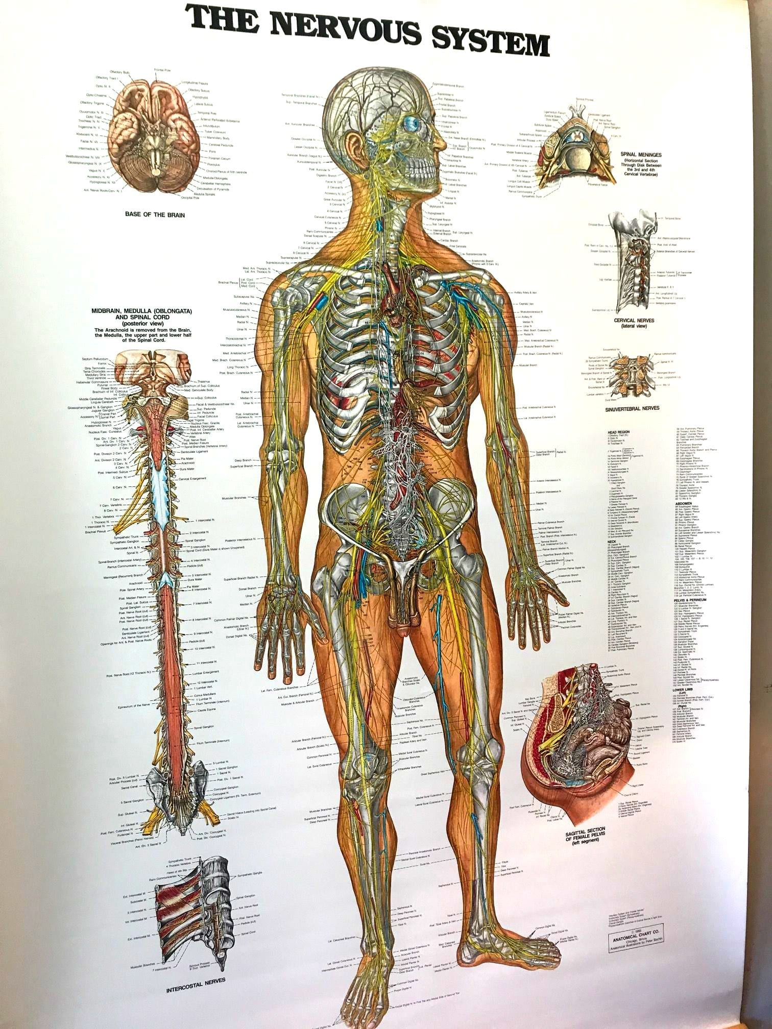 Share your vintage anatomy chart
