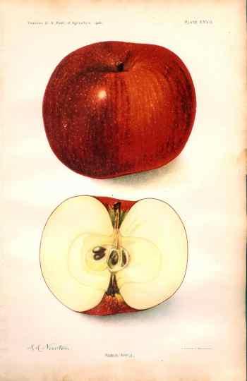 456 Rabun Apple dept of ag 1906