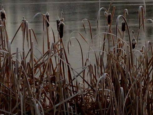 Frozen Cat Tails