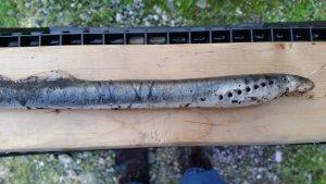 lamprey-alaska
