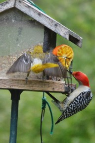 Female Baltimore Oriole and Red-bellied Woodpecker
