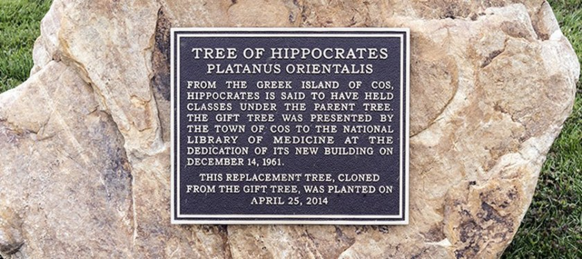 A metal plack mounted on a stone that marks the significance of the NLM's Hippocrates tree.
