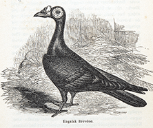 Illustration of a Domestic Pigeon (Columba livia domesticus) from a Danish edition of the Origin of Species.